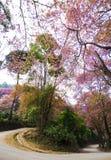 Härlig körsbärsröd blomning Arkivbild