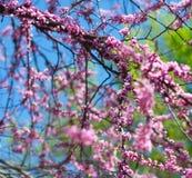 Härlig körsbärsröd blomning Arkivbilder