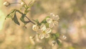 Härlig körsbärsröd blomning Arkivfoto