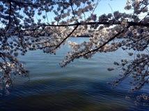 Härlig körsbärsröd blomning royaltyfria bilder