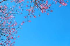 Härlig körsbärsröd blomning i vår royaltyfri fotografi