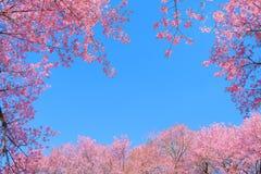 Härlig körsbärsröd blomning i vår, arkivfoton