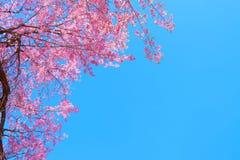 Härlig körsbärsröd blomning i vår, arkivbild