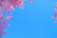 Härlig körsbärsröd blomning i vår arkivfoto