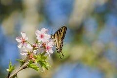 Härlig körsbärsröd blomning med fjärilen på Schabarum regionalt PA Arkivbilder