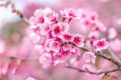 Härlig körsbärsröd blomning, rosa sakura blomma Royaltyfria Foton