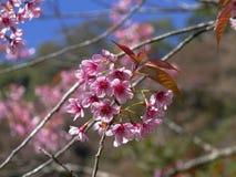 Härlig körsbärsröd blomning, rosa sakura blomma Arkivbild