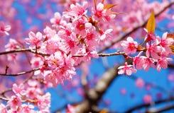 Härlig körsbärsröd blomning, rosa sakura blomma med blå himmel i vår fotografering för bildbyråer