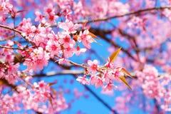 Härlig körsbärsröd blomning, rosa sakura blomma med blå himmel i vår royaltyfri bild