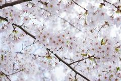 Härlig körsbärsröd blomning sakura i Japan royaltyfria foton
