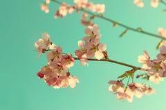 Härlig körsbärsröd blomning sakura i vårtid Arkivfoton