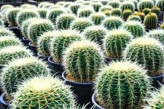 Härlig kaktus Arkivbilder