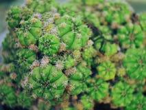 Härlig kaktus från Palu City av Indonesien arkivbild