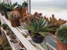 Härlig kaktus på hylla i växtbarnkammare Arkivbilder