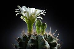 härlig kaktusblommawhite Arkivfoton