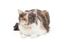 Härlig kalikå Cat Laying Arkivfoto