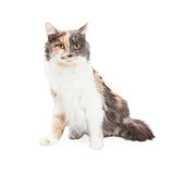 Härlig kalikå Cat Sitting Royaltyfria Foton