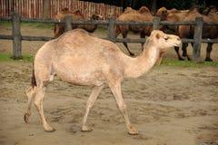härlig kamel Arkivbilder