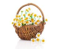 Härlig kamomill blommar i korg Arkivfoto