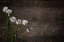 Härlig kamomill för lösa blommor på gammal träskrapad bakgrund Top beskådar Fritt avstånd för text royaltyfria bilder