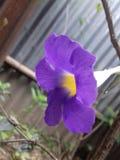 Härlig KanaiBasi blomma Arkivbilder