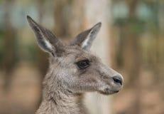 Härlig kangooro i Australien royaltyfria foton