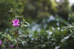 Härlig karmosinröd blomma på filialen på bakgrunden av Bush Bush av rik grön färg Arkivbild
