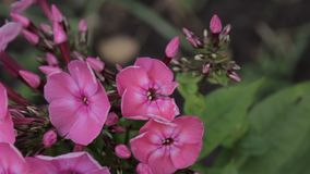 Härlig karmosinröd flox som blommar i vår och svänger på vinden arkivfilmer