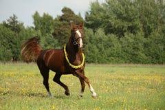 Härlig kastanjebrun häst som traver på fältet Royaltyfri Foto