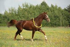 Härlig kastanjebrun häst som traver på fältet Fotografering för Bildbyråer