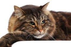 härlig katt royaltyfria bilder