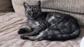 Härlig katt för strimmig katt för brittsvartrök som ligger på soffan lager videofilmer