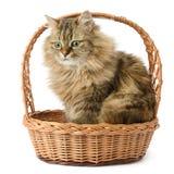 Härlig katt i korg Arkivbild