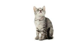 härlig katt isolerad white Fotografering för Bildbyråer