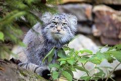 Härlig katt, katt Pallas, Otocolobus manul Royaltyfri Foto