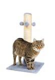 Härlig katt med att skrapa stolpen Royaltyfria Foton