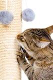 Härlig katt med att skrapa stolpen Royaltyfri Foto