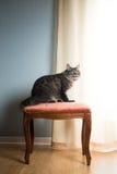 Härlig katt på tappningstol Arkivfoto