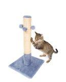 Härlig katt som vässar dess jordluckrare Arkivbild