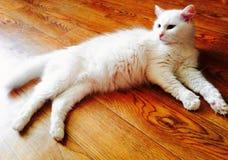 härlig kattclose upp white Fotografering för Bildbyråer