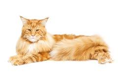 härlig kattcoon maine Fotografering för Bildbyråer