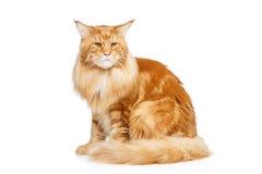 härlig kattcoon maine Arkivfoton
