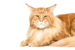 härlig kattcoon maine Royaltyfri Fotografi