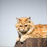 härlig kattred Royaltyfri Fotografi