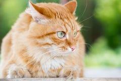 härlig kattred Royaltyfri Foto