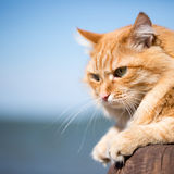 härlig kattred Fotografering för Bildbyråer