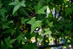Härlig klättringmurgröna Royaltyfria Bilder
