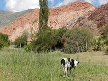Härlig ko i en by i Jujuy arenaceous Arkivbilder
