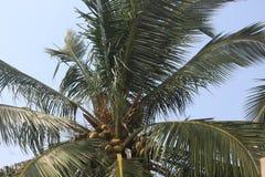 Härlig kokospalm i södra Indien Arkivfoto