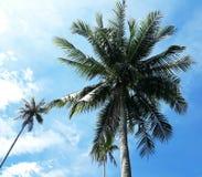 Härlig kokospalm i trädgård arkivfoton